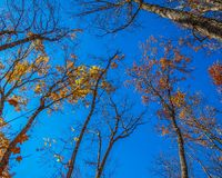 Falling colorful leaves in Algonquin park stock photo