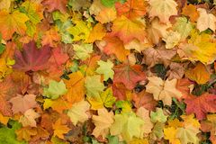 Falling colourful and dry autumn leaves background Stock Photos