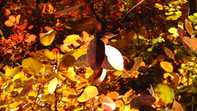 Falling cotinus leaves in autumn forest with smoke bush trees in background stock footage