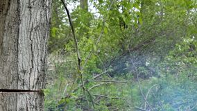 Falling of the cut tree. Falling of the cut poplar tree in a garden stock footage