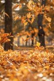 Falling dry yellow maple leaves on an autumn royalty free stock images