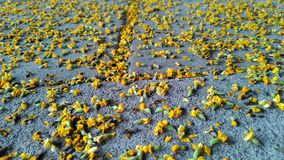 Falling flower on the street in autumn. This photo take in Kenjeran Park, Surabaya, East Java, Indonesia stock photography