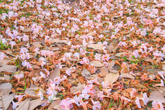 Falling Flowers-Tabebuia rosea(pink poui,rosy trumpet tree). Neotropical tree.Flowers are large, in various tones of pink to purple, and appear while the tree Royalty Free Stock Images