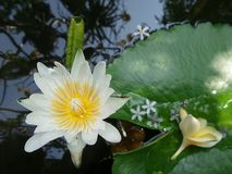 Falling flowers on waterlily leaf stock photo