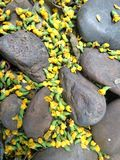 Falling fragrant Golden blossom of Burma  Padauk flower on small stone path Stock Photography
