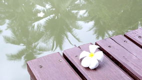 Falling frangipani on the wooden bridge. Beside the river stock footage