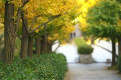 Falling gingko leaves in early autumn morning in Tokyo, Japan. Tokyo,Japan-November 16, 2018: Falling gingko leaves in early autumn morning in Tokyo, Japan royalty free stock photo