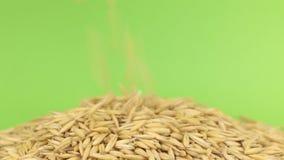 Falling grains oats on heap of oats on a green screen stock video