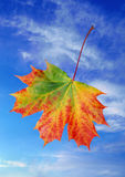 Autumn Maple Leaf. Single autumn leaf against blue sky Royalty Free Stock Images