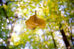 Falling leaf Royalty Free Stock Photo