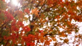 Falling leaf in autumn stock video