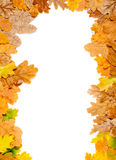 Falling leaf frame. Falling autumn oak leaves isolated on white Stock Image