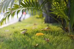Falling leaf on green grass at sunset time in autumn season Royalty Free Stock Image