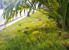 Falling leaf on green grass at sunset time in autumn season Royalty Free Stock Photos