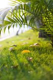 Falling leaf on green grass at sunset time in autumn season Stock Image