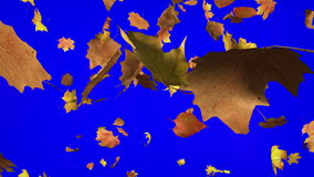 Falling Leafs with Chroma Key stock video