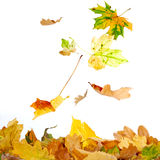 Falling Leaves Royalty Free Stock Image
