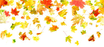 Falling Leaves. Autumn Maple Leaves falling and spinning isolated on white background Royalty Free Stock Photography