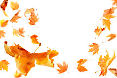 Falling Leaves. Autumn Leaves falling and spinning isolated on white background Royalty Free Stock Photo