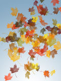 Falling leaves. Falling maple tree leaves in a variety of autumn colors on a gradient blue background Royalty Free Stock Photo