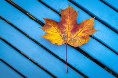 Falling leaves. Autumn in city park with yellow maple leaf on bl stock images