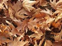 Falling leaves in autumn, dry tree leaves, sitting on the bank, pictures of park scenes in the fall, Royalty Free Stock Photos