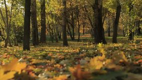The falling leaves in autumn park. On a sunset stock footage