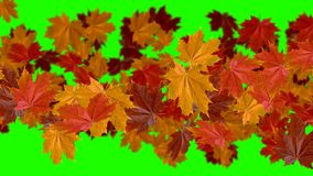 Falling leaves - the autumn - transition in green screen. High quality full HD 60fps stock footage