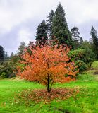 Falling leaves from a beautiful chinese tree Davidia Involucrata during autumn season in Benmore Botanic Garden, Scotland. Falling leaves from a beautiful royalty free stock photos