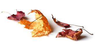 Falling Leaves. Falling dry maple leaves on white background with shadow stock images