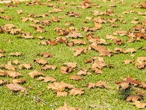 Falling leaves on the grass on autumn. In Spain royalty free stock photography