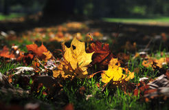 Falling leaves in grass. In a park in autumn Royalty Free Stock Image
