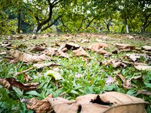 The falling leaves on the lawn in spring with flower. In winter and spring the falling leaves on the lawn.it is a special season.the withered leaves and green royalty free stock photos