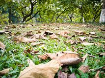The falling leaves on the lawn in spring. In winter and spring the falling leaves on the lawn.it is a special season.the withered leaves and green trees grass royalty free stock image