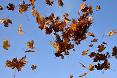The falling leaves of a maple tree in the blue sky background. Stock Photos