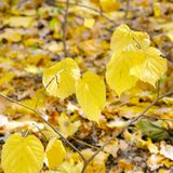 Falling leaves natural background. Shallow depth of field. Focus on the foreground. Beautiful autumn landscape with trees . Colorful foliage in the park. Falling royalty free stock images