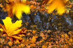 Falling leaves. Over the creek in the autumn royalty free stock photos
