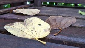 Falling leaves with rain water drops  after a storm and light rainfall in the night Royalty Free Stock Photo