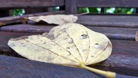 Falling leaves with rain water drops  after a storm and light rainfall in the night Royalty Free Stock Photos
