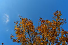 Falling leaves on a tree with blue sky in the background. Autumn. Fall royalty free stock image
