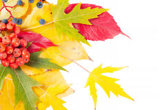 Falling leaves on a white background. Stock Photo