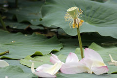 Falling lotus Royalty Free Stock Photos