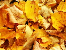 Falling In Love. Autumn leaf color is a phenomenon that affects the normally green leaves of many deciduous trees and shrubs by which they take on, during a few royalty free stock image