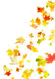 Falling Maple Leaves. Autumn maple leaves isolated on white Royalty Free Stock Photos