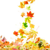 Falling Maple Leaves royalty free stock photography