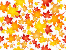 Falling maple leaves Stock Images