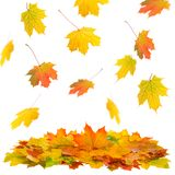 Falling maple leaves white background Autumn fall. Falling maple leaves isolated on white background. Autumn fall stock photography