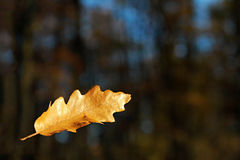 Falling oak leaf Royalty Free Stock Image