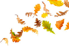 Falling Oak Leaves. Autumn oak leaves falling and spinning Stock Photography