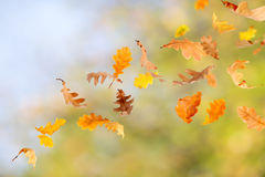 Falling Oak Leaves. Autumn oak leaves falling and spinning on natural foliage background Stock Images